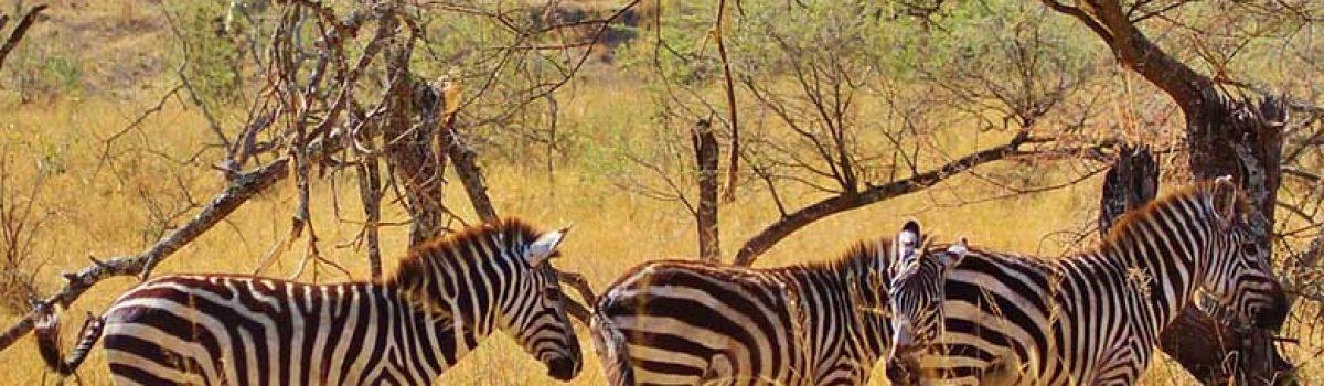 Zebras in Tanzania